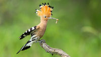 Eurasian hoopoe landing on a twig with open crest in summer nature