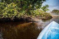 West Indian manatee Trichechus manatus swim in the Orange River