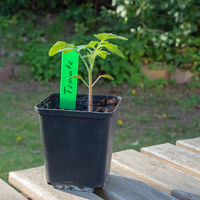 Pot with a young tomato plant on a wooden table in a garden