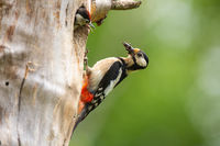 Great spotted woodpecker nesting inside a tree in springtime nature