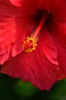 Close up red hibiscus flower pistil