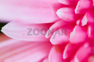 Pink Gerbera Daisy Petals close-up blurred suitable as Background, Backdrop, or Wallpaper.