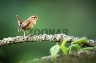 Eurasian wren singing on bough in spring nature.