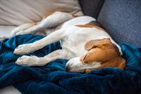 Beagle dog tired sleeps on a cozy sofa in bright room