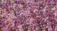 Kirschbaum Hintergrund zur rosa Kirschblüte