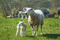 Young newborn sheep with mother on a meadow in spring