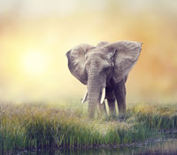 African Elephant near water