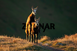 Young tatra chamois mating on grass in autumn sunset