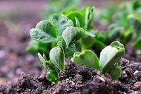 Macro view of pea plants seedlings growing in the soil