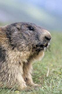 Alpenmurmeltier wacht ueber sein Territorium - (Murmeltier) / Alpine Marmot watching over his territory / Marmota marmota
