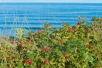 red rose hips on bushes on the seashore, thickets of round rose hips