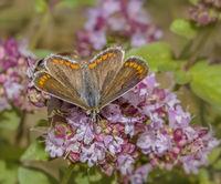 Brown argus  'Aricia agestis'