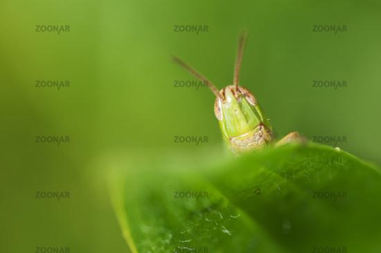Head of grasshopper on green leaf