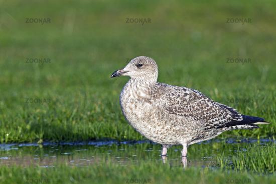 European Herring Gull juvenile bird in first-winter plumage in Buesum Harbour