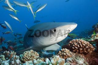 Tigerhai, Franzoesisch-Polynesien