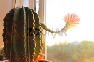 The cactus at window is blooming. A flower on a cactus.