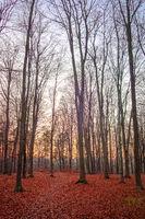 Beech forest in Berlin Frohnau in autumn