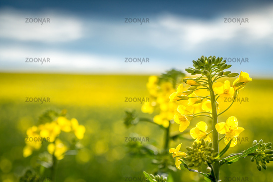 close up of a rapeseed