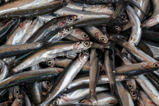 Fresh anchovies fish on ice