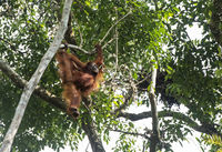 Orang-Utan sitting on a tree, Wildlife Centre, Semenggoh Nature Reserve, Siburan, Sarawak, Malaysia