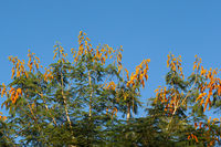 A tree with orange flowers and a blue sky in the background