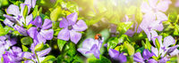 Spring wild meadow periwinkle flowers, ladybug in sun light, macro panorama. Soft focus nature background panoramic. Pastel toned image. Nature floral springtime.