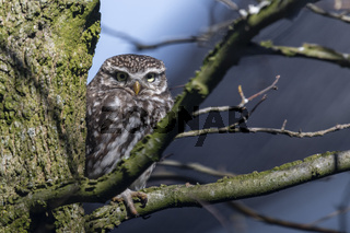 Little owl in a garden tree in the early spring