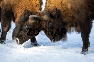 Strong bisons fighting on snow and pushing against each other with horns