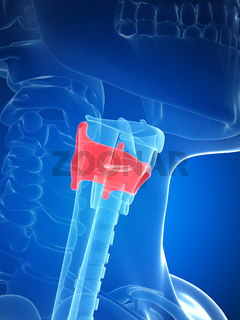 3d rendered illustration of the larynx anatomy - thyroid cartilage