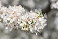 Close up white cherry blossom