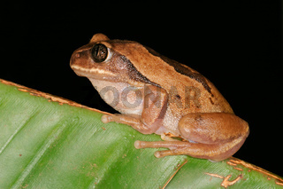 Brown-backed tree frog
