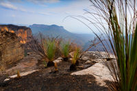 Fire resistant grass trees dominate the burnt plateau Blue Mountains