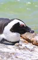 African penguin at Boulders Beach in Southafrica
