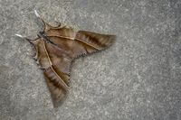 Top view of moth, Nagaland, India