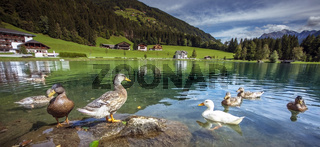 Ducks at the Mühlwald reservoir in Mühlwald South Tyrol Trentino Italy