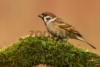Eurasian tree sparrow sitting on branch with green moss in spring.