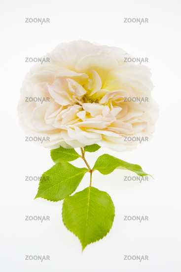 Rose flower isolated