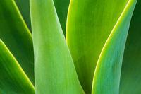 Detail einer grünen Pflanze auf der Insel Madeira, Portugal