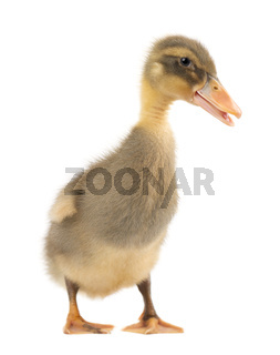 Grey cute duckling isolated on white background