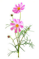 Dreamy pink cosmos flowers bouquet isolated on white background closeup. Macro with soft focus. Pastel vintage toned. Delicate transparent airy elegant artistic image of spring. Copy space