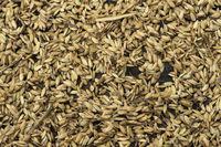 Rice grains of the sticky rice variety Khao Niau, near Luang Prabang, Laos
