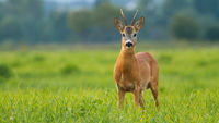 Roe deer buck standing on meadow in summertime sunlight