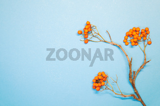 Autumn composition. Season background with branch of rowan berries on light blue background. Autumn