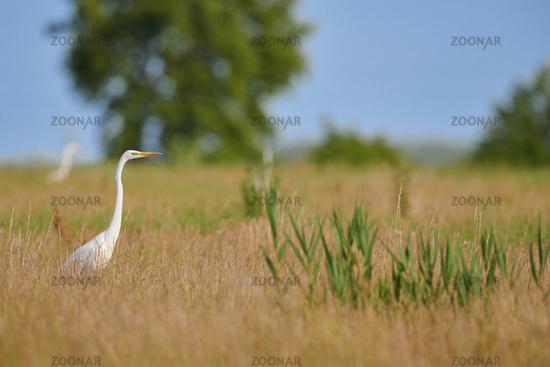 great white egret at Lake Neusiedl