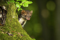 Quick pine marten peeking out behind a tree trunk covered with green moss