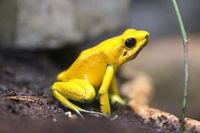 terrible poison dart frog (Phyllobates bilis)
