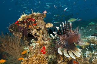 Indischer Rotfeuerfisch, Malediven