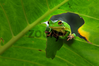frogs, tree frogs, dumpy frogs in tree branches or flowers