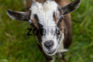 Goat with focal point on the nose