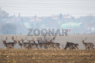Group of fallow deer standing on meadow near the village